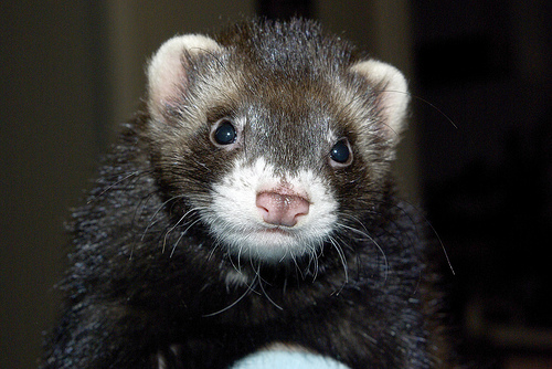 black sable ferret