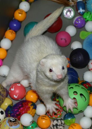 ferret playing with a bunch of balls